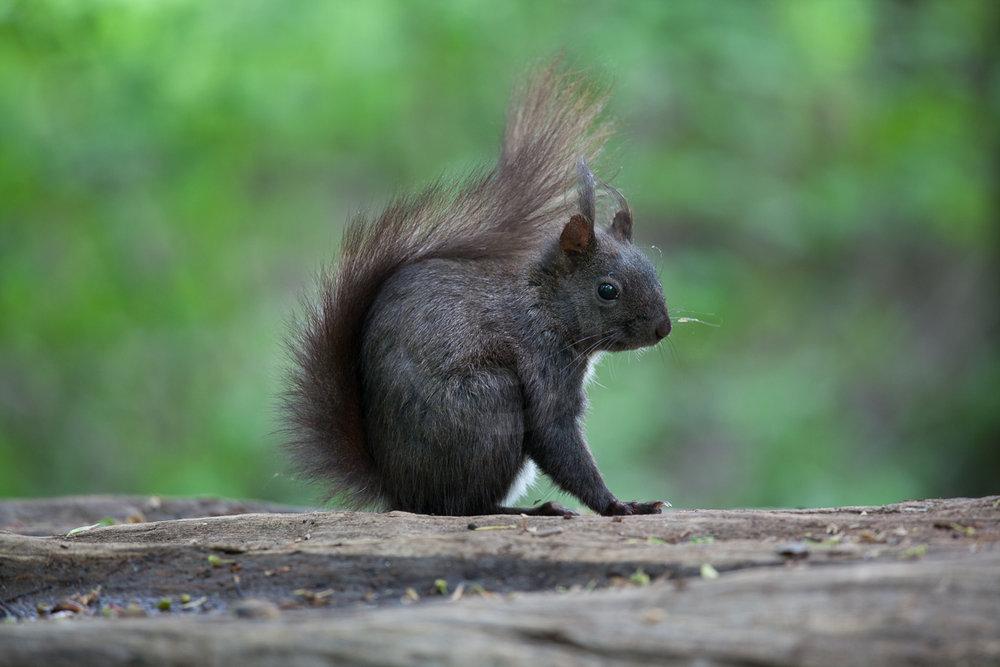 Eichh�rnchen, die dunkle Fellvariante   - weiter zur Fotogalerie