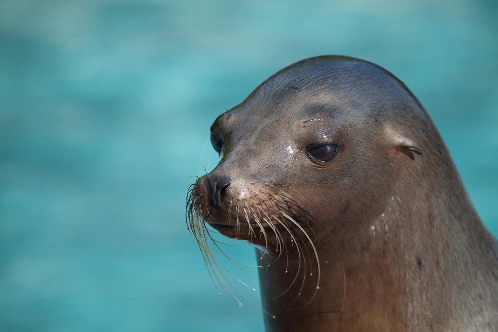 Kalifornischer Seelöwe   - weiter zur Fotogalerie