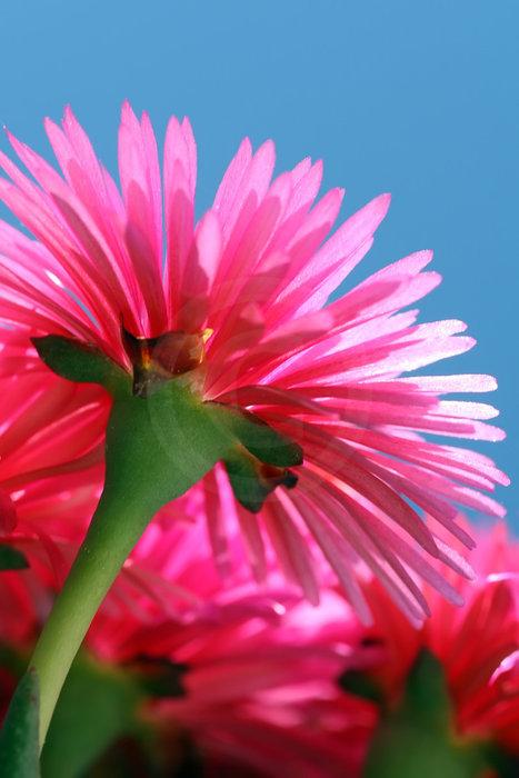 pinkfarbige Bl�ten der Mittagsblume   - weiter zur Fotogalerie